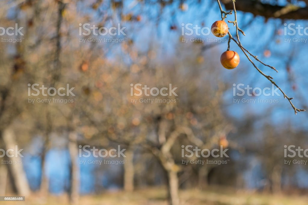 German blurred orchard with ripe apples at a tree with branches stock photo