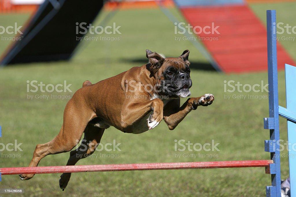 German boxer stock photo