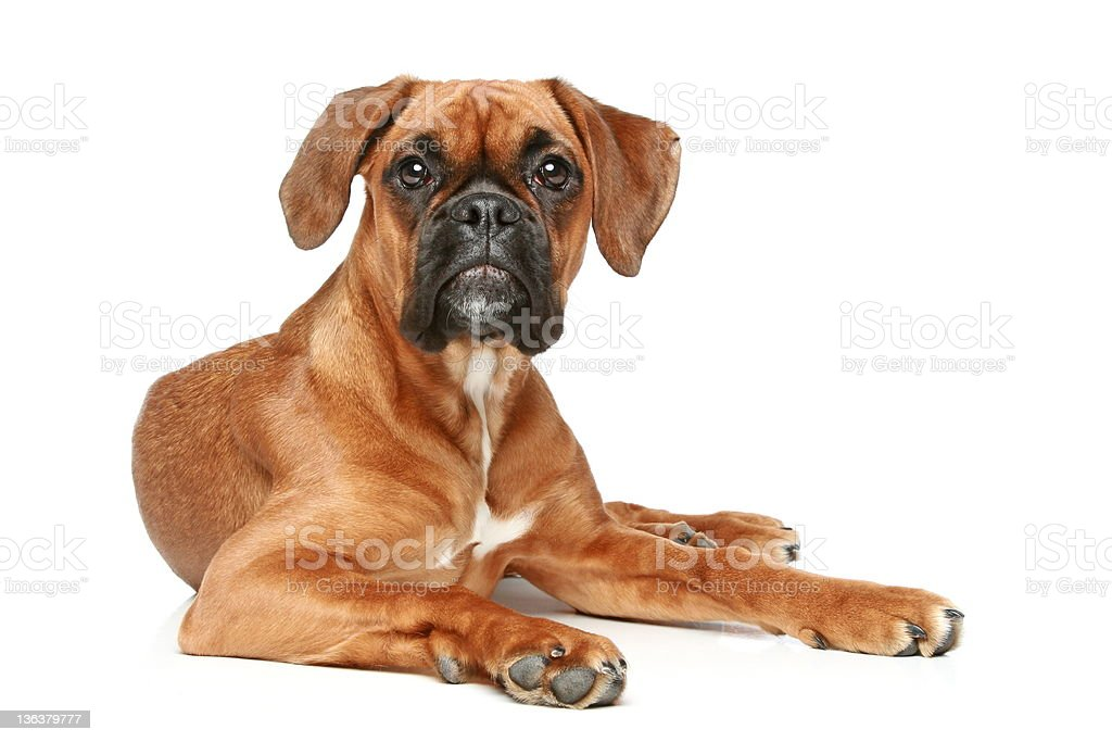 German Boxer puppy (5 month) lying stock photo