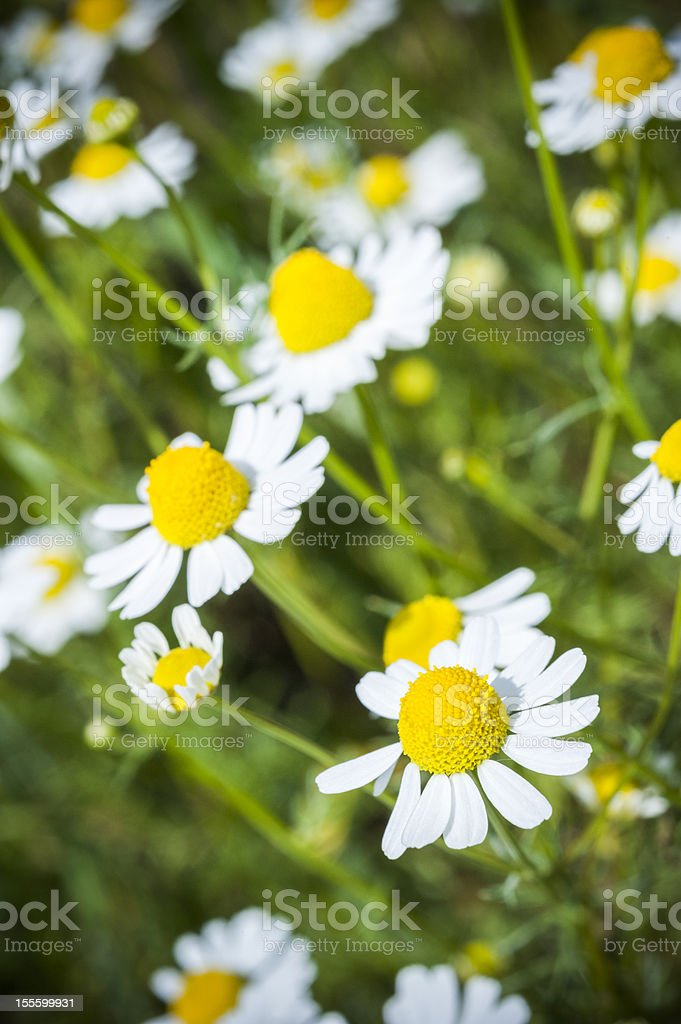 german chamomile royalty-free stock photo