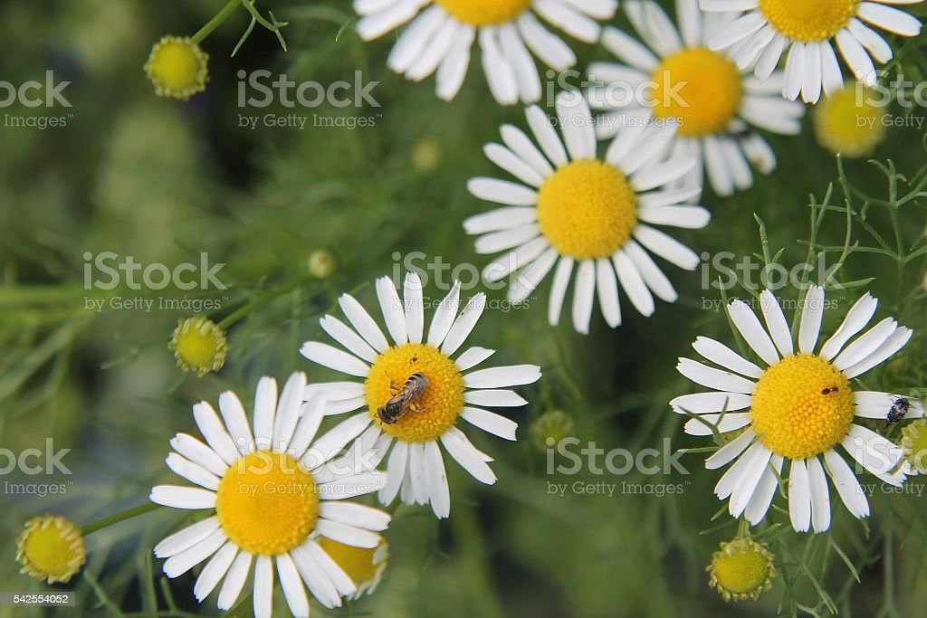 German Chamomile stock photo