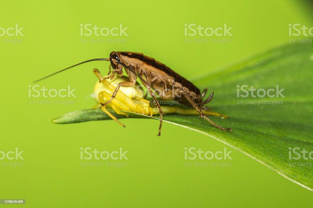 German cockroach (Blattella germanica) stock photo