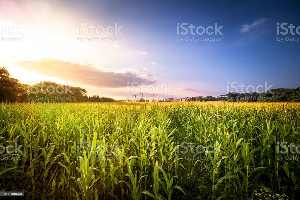 German Cornfield stock photo