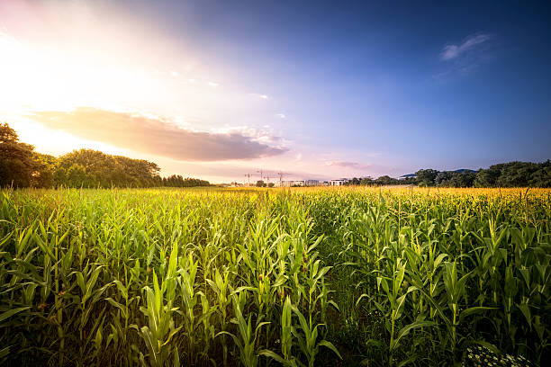 Corn Field Pictures, Images and Stock Photos - iStock
