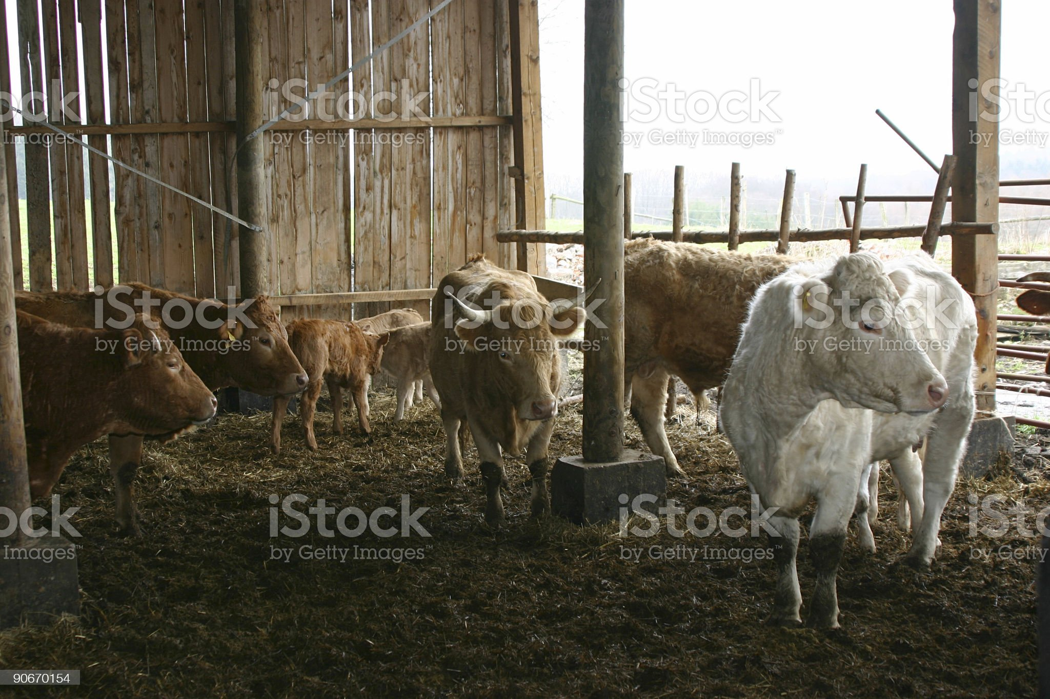 German Cow in a Stable royalty-free stock photo