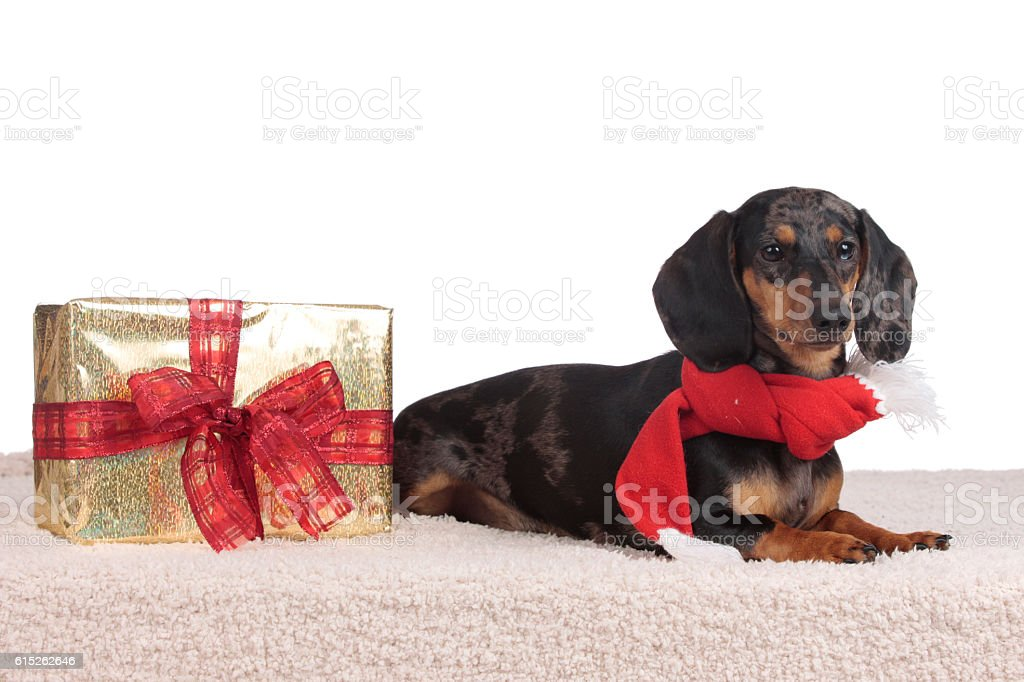 German dachshound with red scarf stock photo