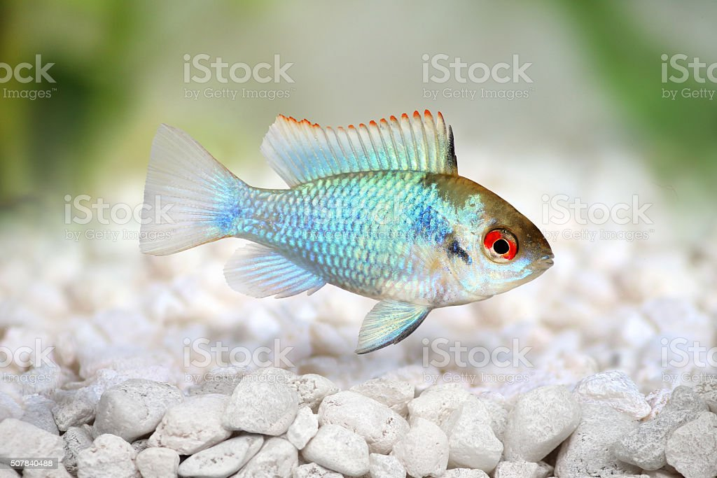 german electric blue ram dwarf cichlid Mikrogeophagus ramirezi aquarium fish stock photo