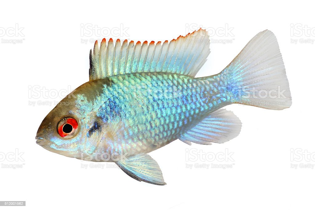 german electric blue ram dwarf cichlid Mikrogeophagus ramirezi aquarium fish stock photo