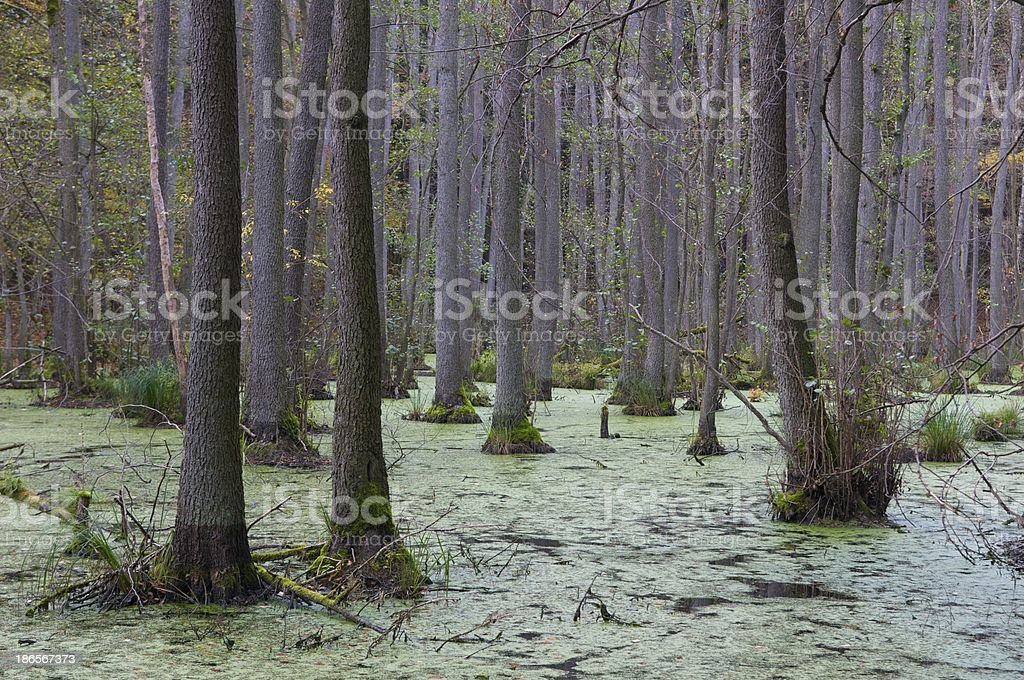 german forest swamp stock photo