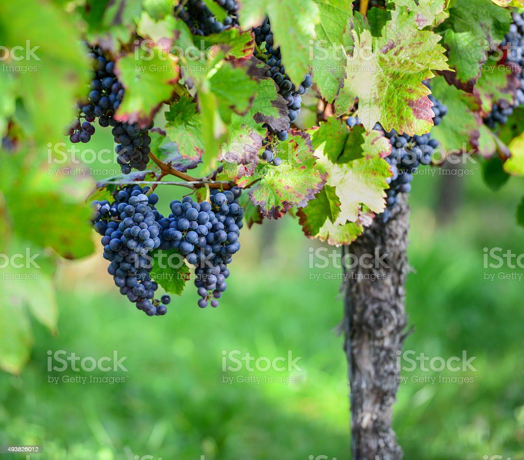 German Grapes on the Vine stock photo