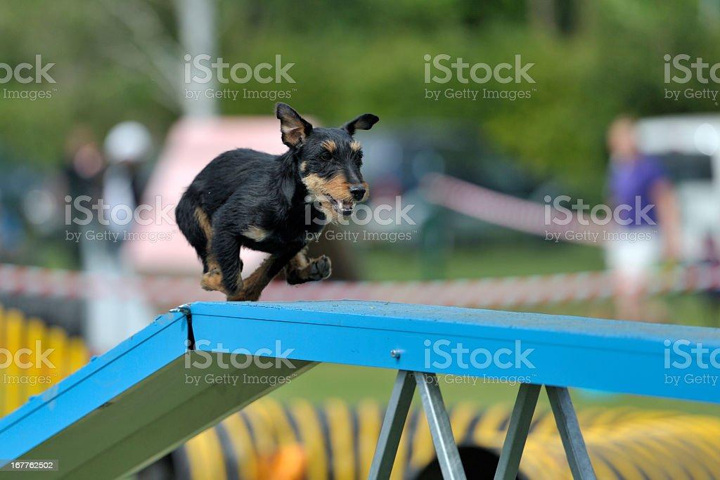 German Hunt Terrier stock photo