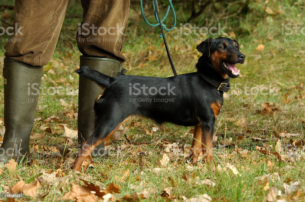 german hunting terrier stock photo