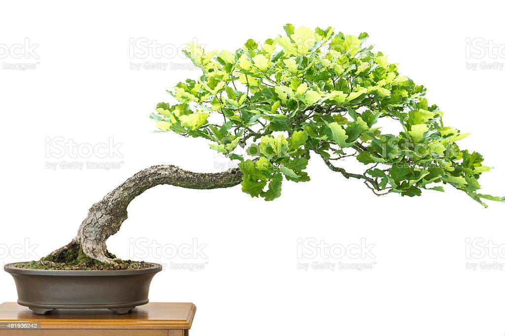 German oak (Quercus robur) as bonsai tree stock photo