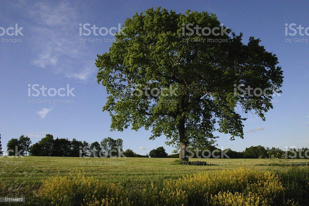 German oak on a meadow royalty-free stock photo
