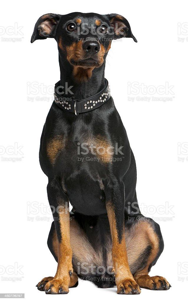 German pinscher, 2 years old, sitting stock photo