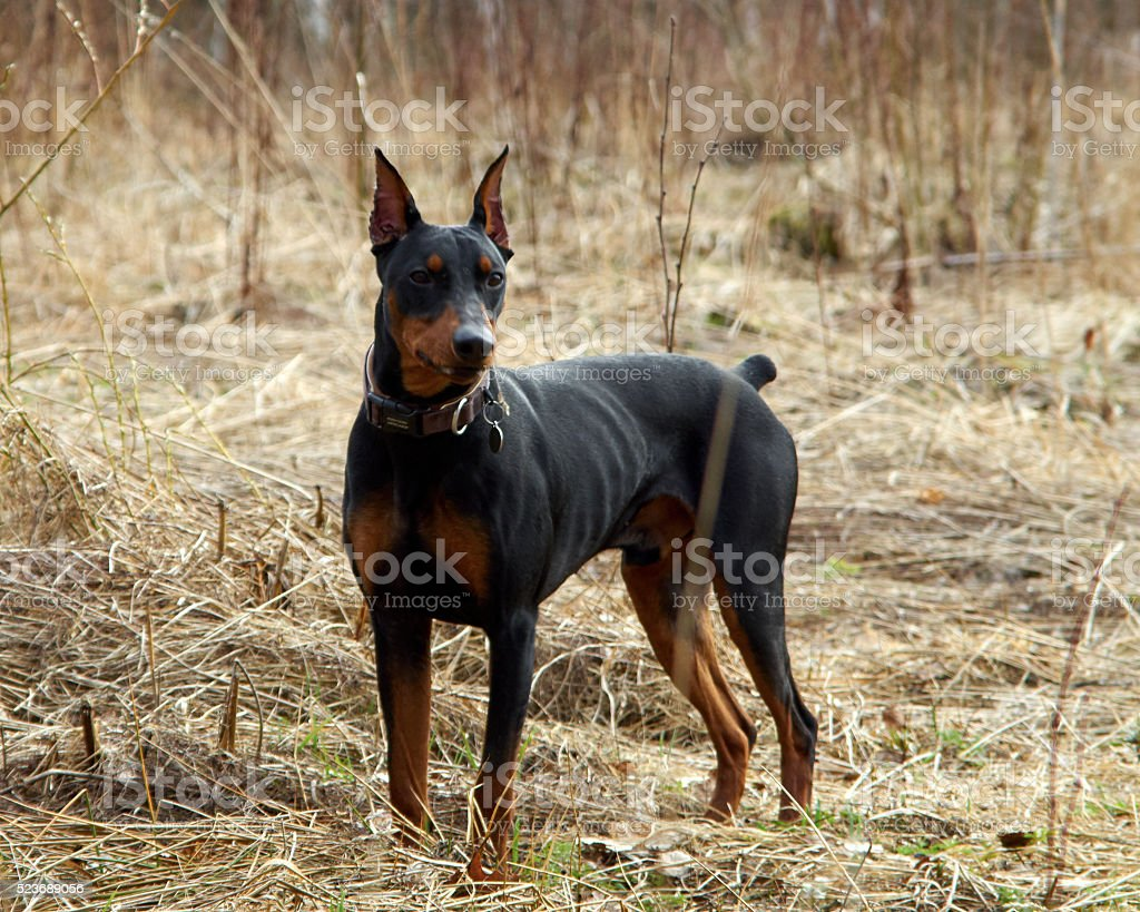 German Pinscher on a walk in the autumn forest stock photo