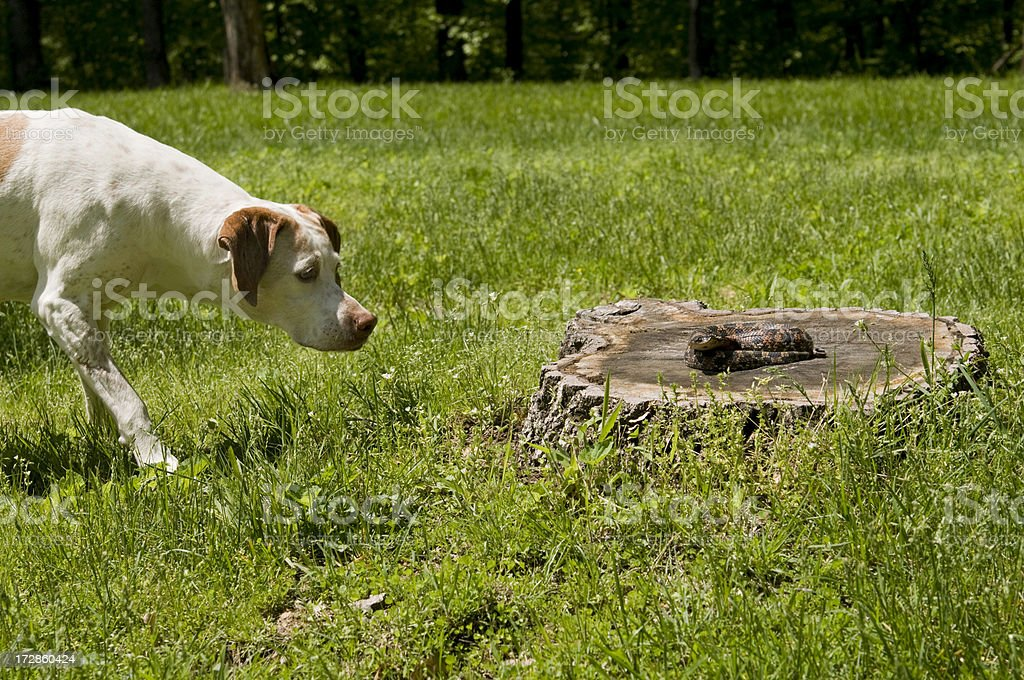German Pointer and Hognose stock photo