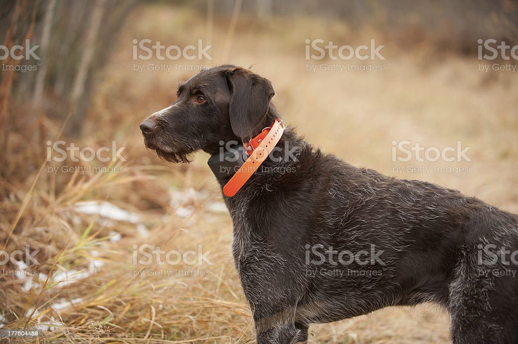 German Pointer royalty-free stock photo