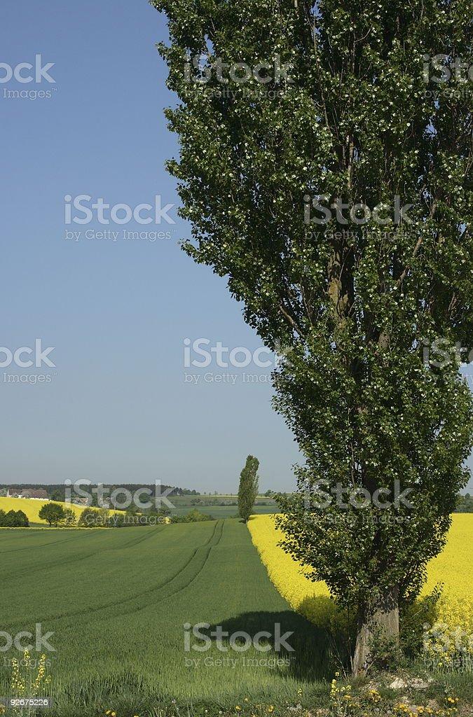German Poplar in Spring stock photo