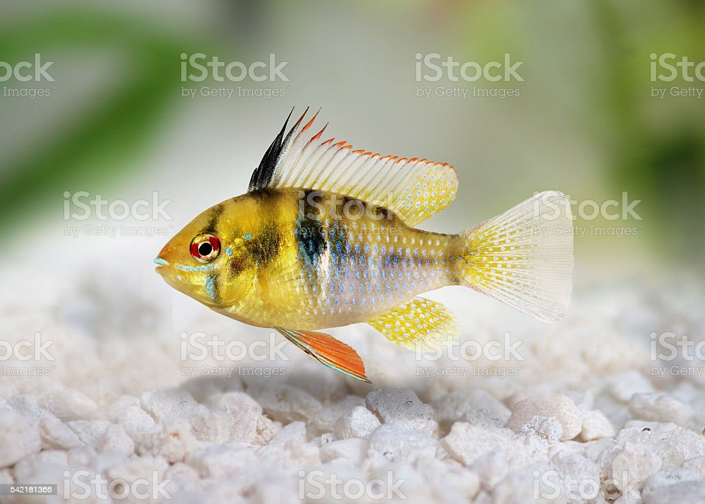 German Ram cichlid Mikrogeophagus ramirezi aquarium fish stock photo
