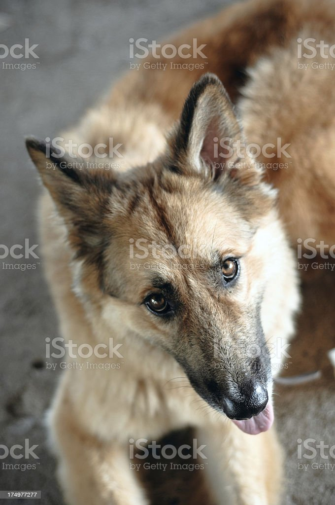 German Sheapherd royalty-free stock photo