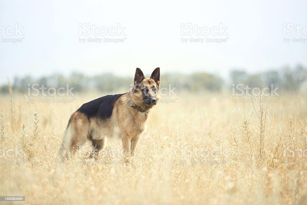 German sheepdog royalty-free stock photo