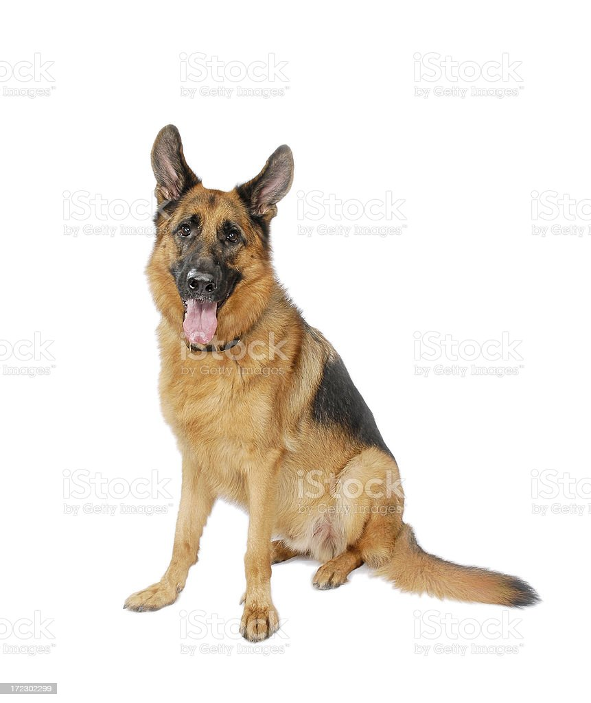 German Shepard Isolated on White stock photo