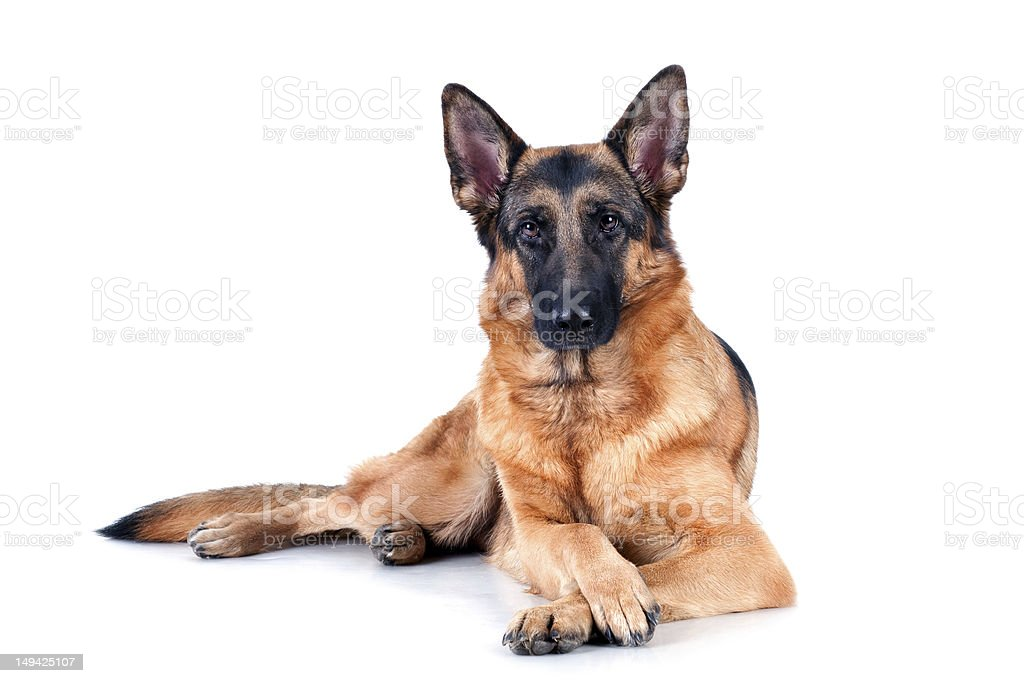 German Shepard laying down on white background stock photo