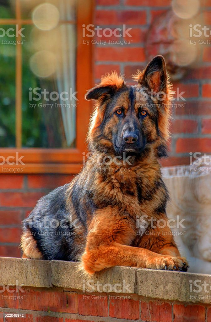 German shepard. stock photo