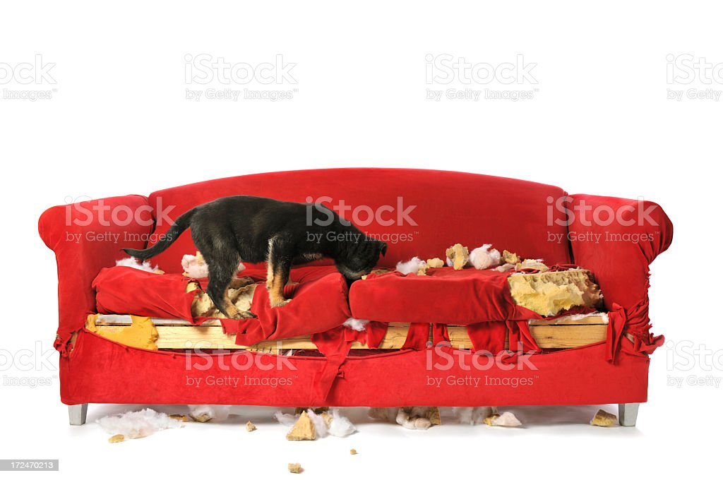 German Shepard Puppy Chewing and Destroying a Red Couch stock photo