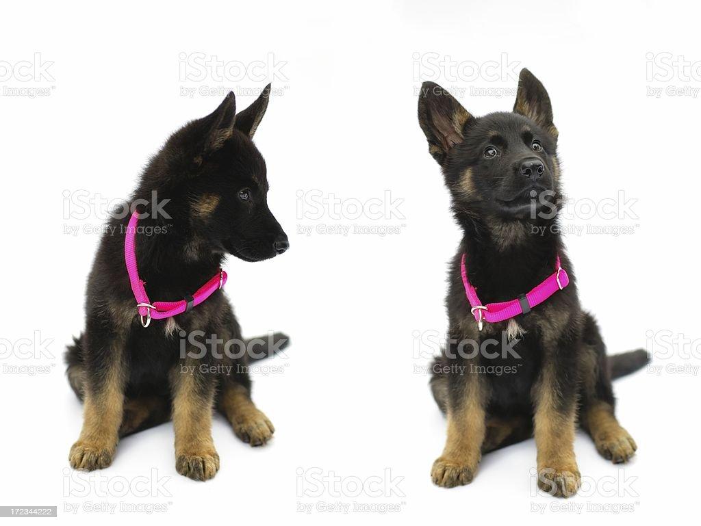 german shepard puppy royalty-free stock photo