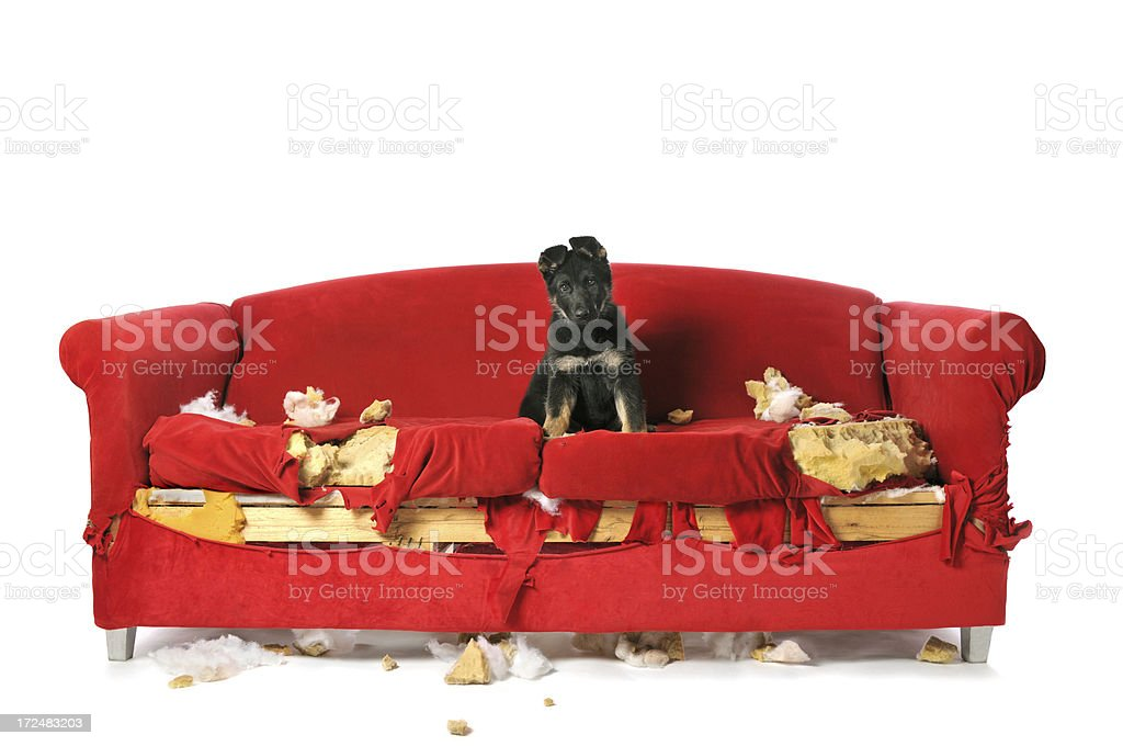 German Shepard Puppy Sitting on a Destroyed Red Couch stock photo