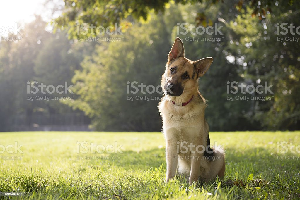 German Shepard sitting in a green park surrounded by trees stock photo