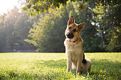 German Shepard sitting in a green park surrounded by trees