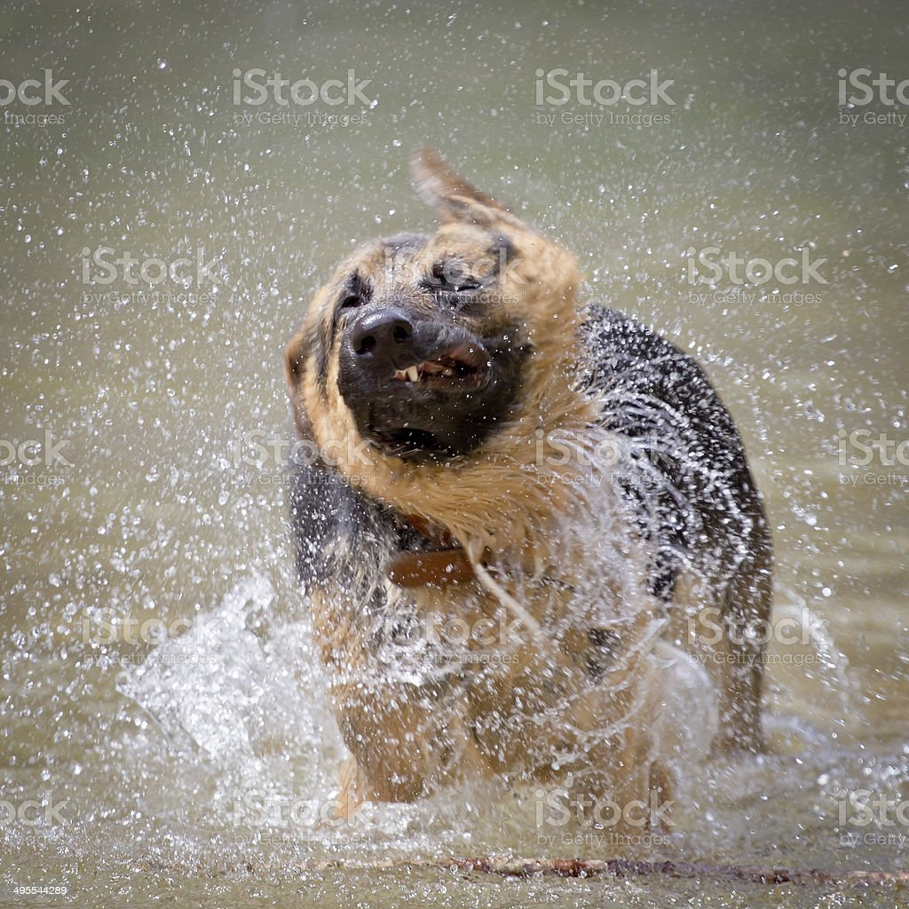 A German Shepard who is wet shaking off in the river stock photo