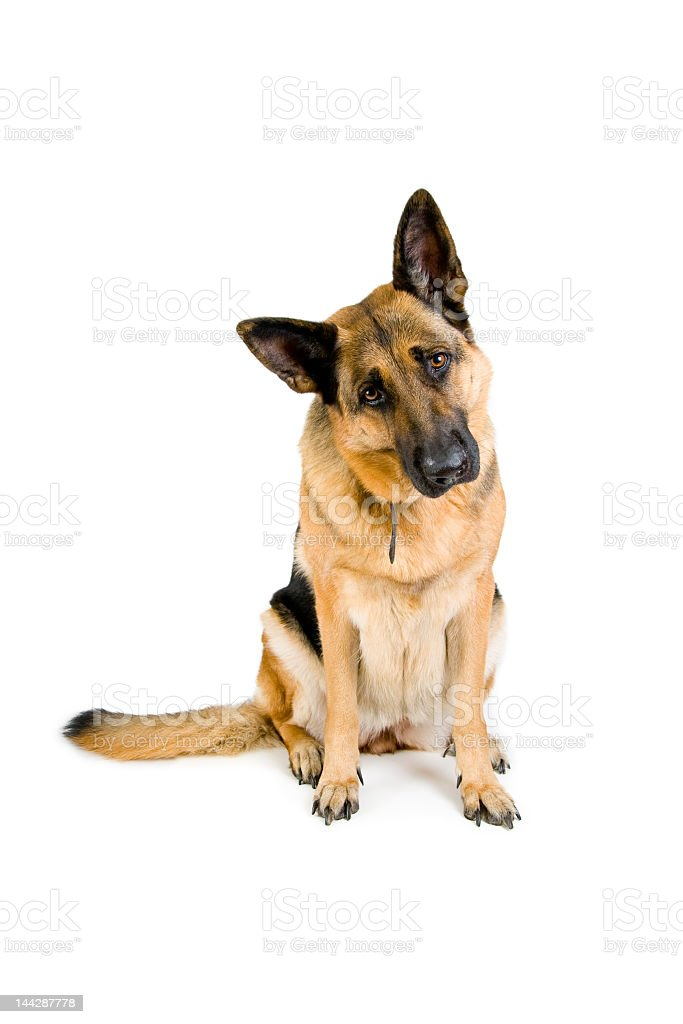 German Shepard with head tilted on white background stock photo