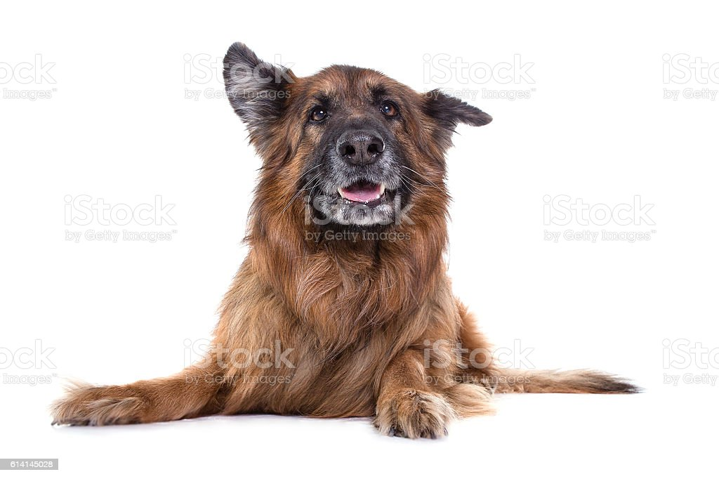 german sheperd in white background  with funny expression stock photo