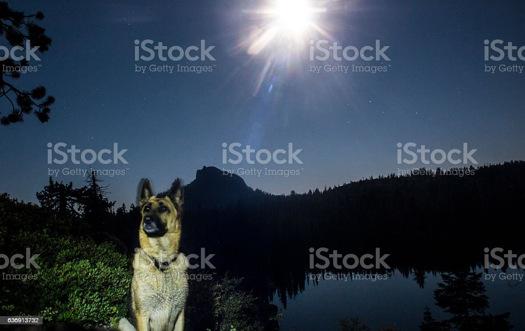 German Shephard by Moonlight stock photo