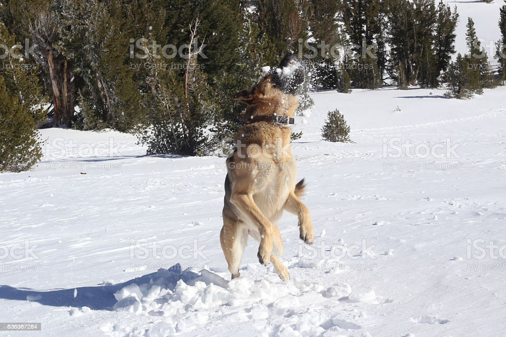 German Shephard Catching a Snowball stock photo