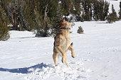 German Shephard Catching a Snowball