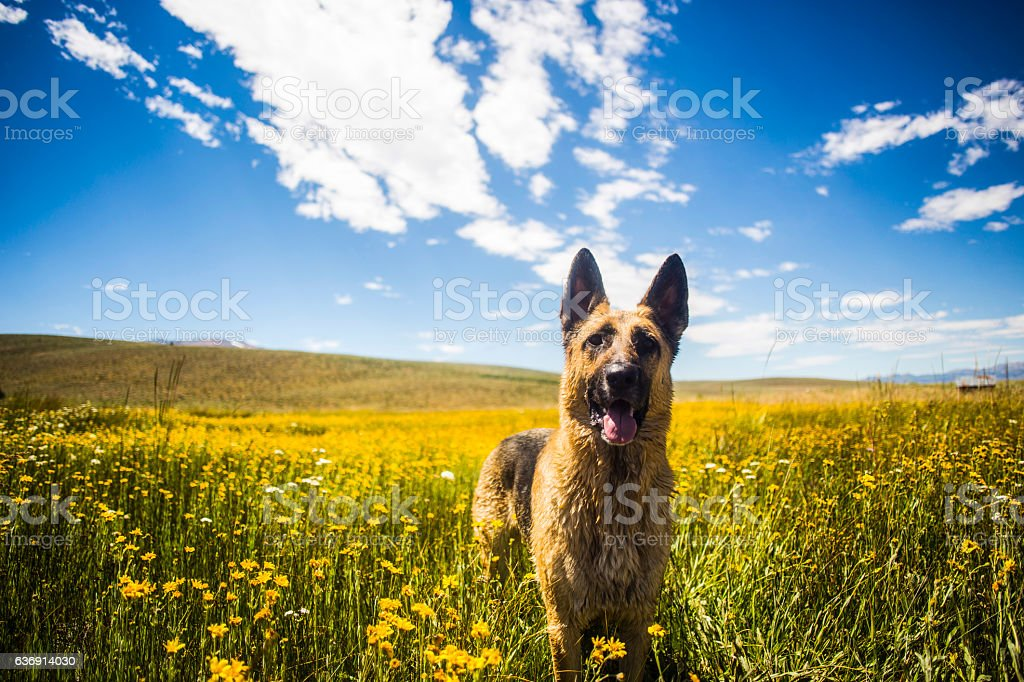German Shephard in Wild Flowers stock photo