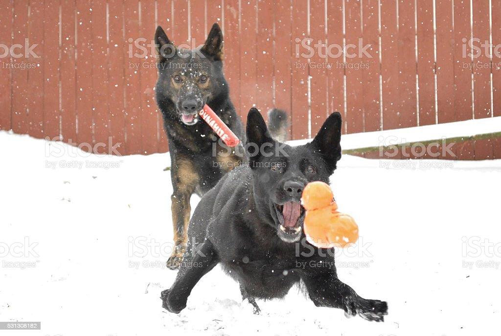 German Shepherd action stock photo
