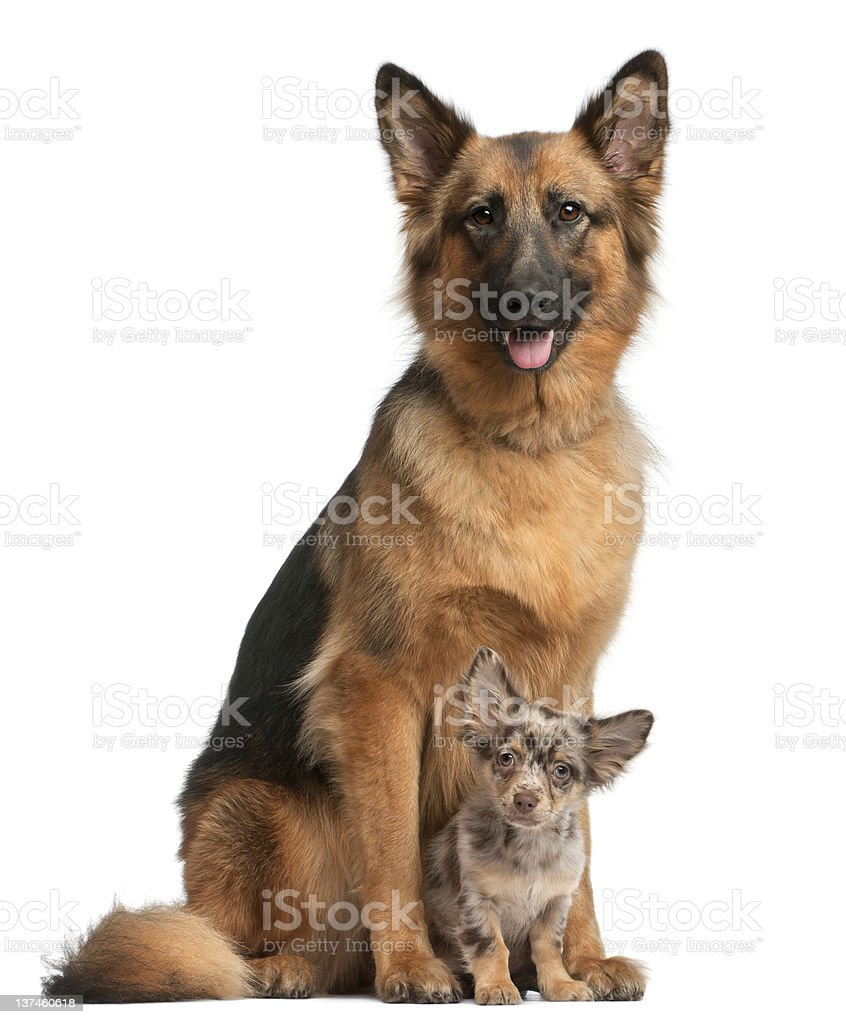 German shepherd, and Chihuahua, 4 months old, sitting royalty-free stock photo