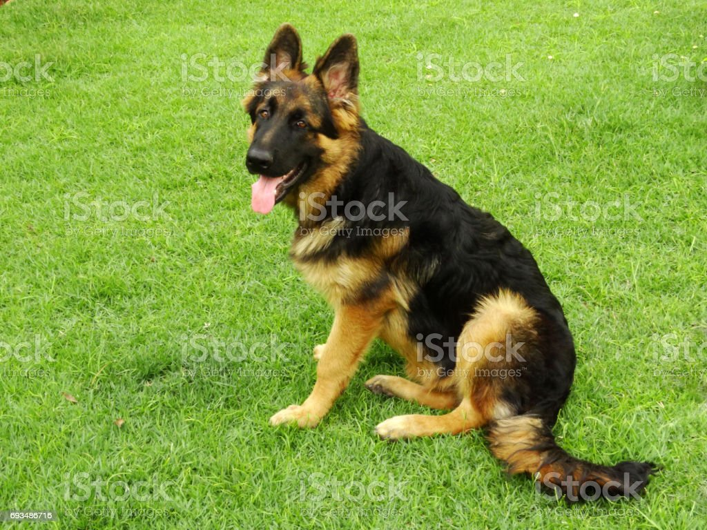 German shepherd at home stock photo