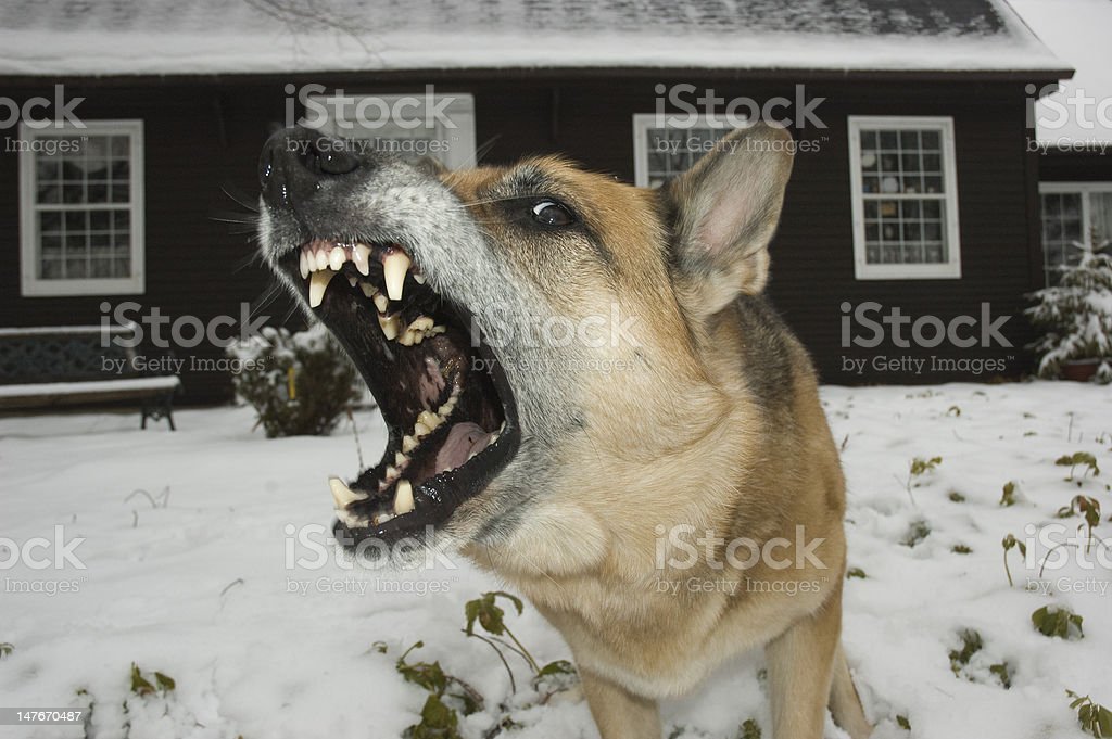 German Shepherd Barking stock photo