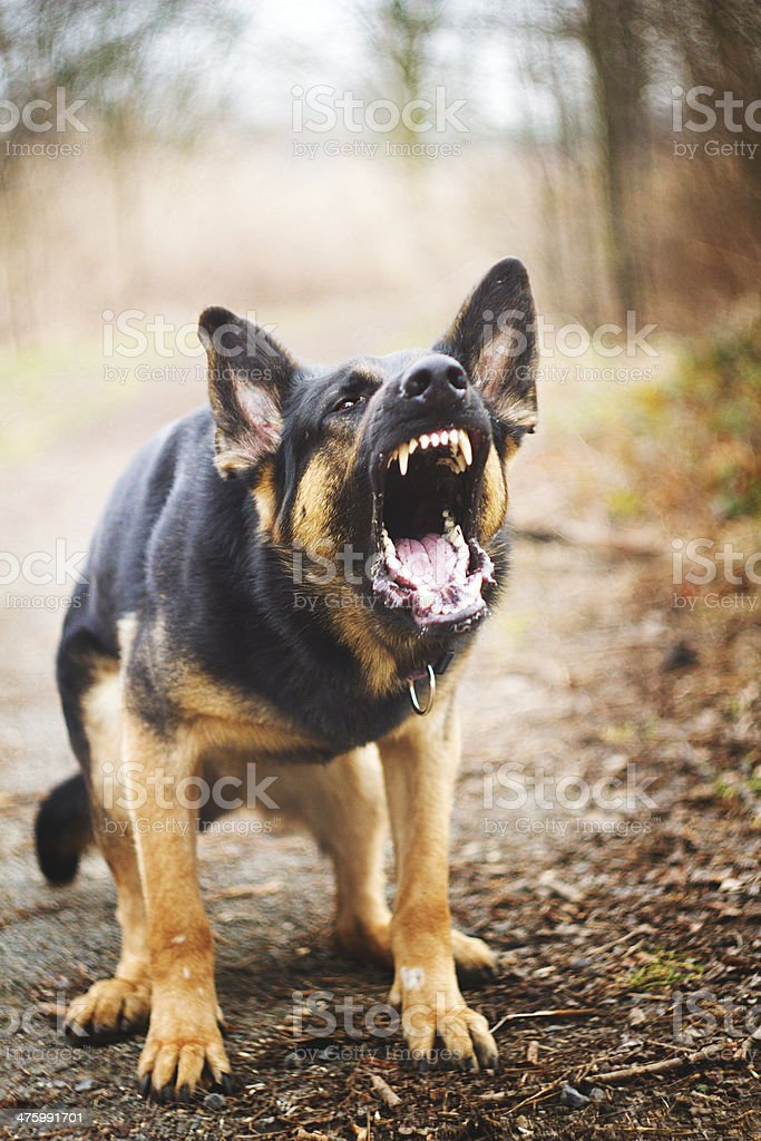german shepherd barks stock photo