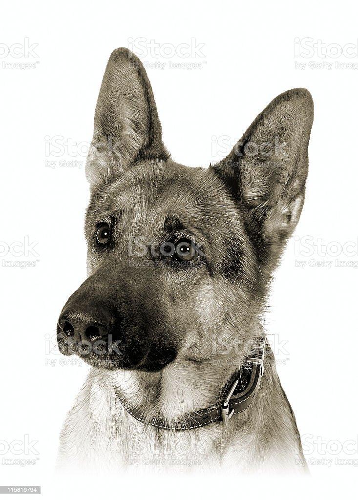 German shepherd bw royalty-free stock photo