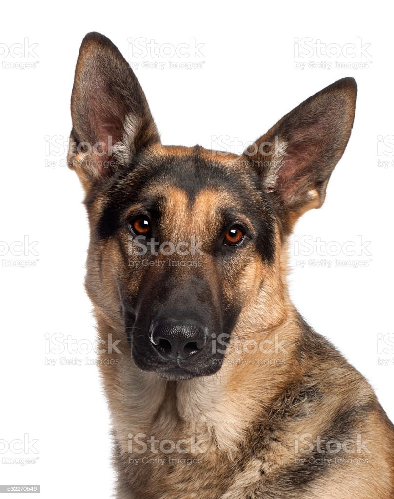 German Shepherd Dog, 2 and a half years old, stock photo