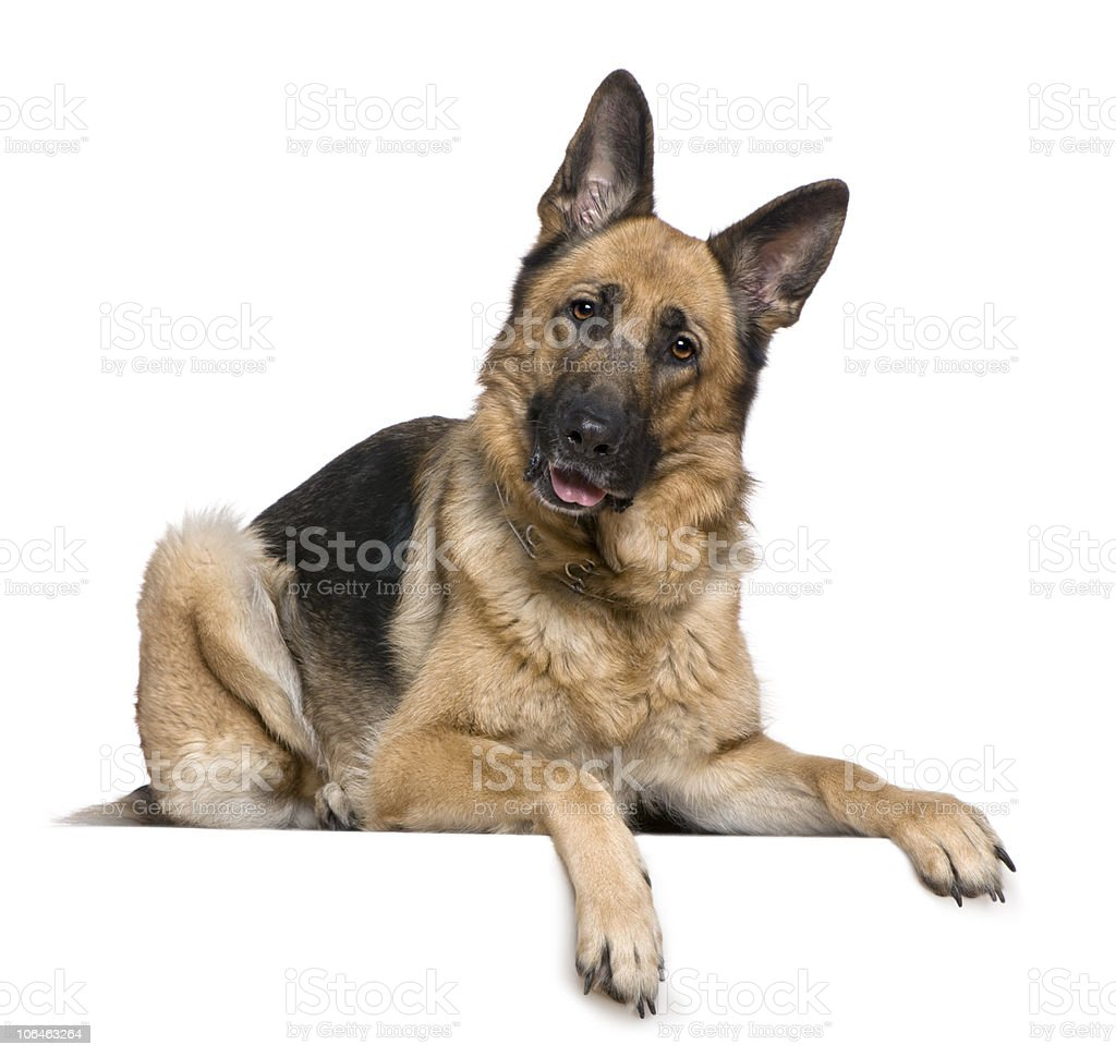 German Shepherd dog, 4 years old, lying down and panting. stock photo