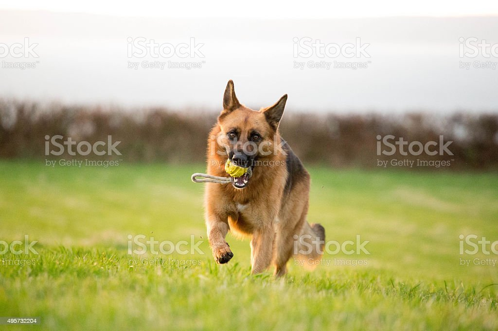 German Shepherd Dog action shot stock photo